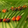 palm-oil-indonesia